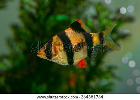 Aquarium fish - barbus Sumatra  (Barbus pentazona) - stock photo