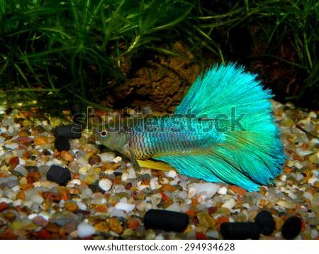 Aquarium fish. Betta splendens.  - stock photo