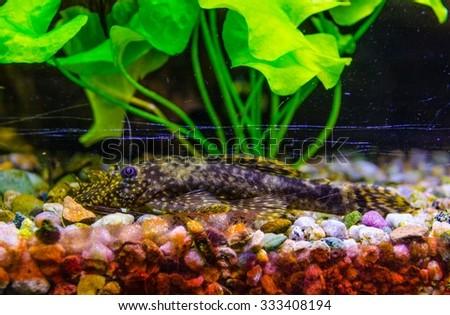 Aquarium Fish Bushymouth catfish (Ancistrus dolichopterus) - stock photo