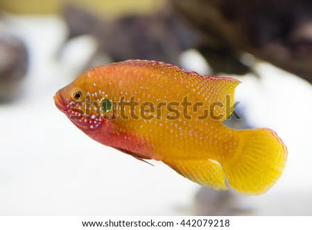 Aquarium fish-chromis  It's definitely not a friendly fish. Not very many species of fish can live with them in the same aquarium. In nature these fish are common in Africa, in the Congo basin.