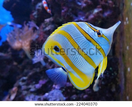aquarium fish Copperband butterflyfish