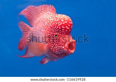 aquarium fish, flower horn fish on blue screen - stock photo