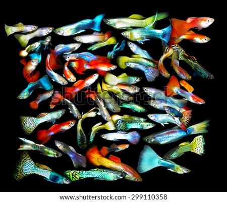 Aquarium fish. Poecilia - stock photo