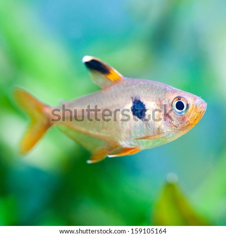 Aquarium fish. Rosy Tetra. Freshwater tank. Green and blue background ...