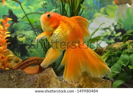 aquarium goldfish carp - stock photo