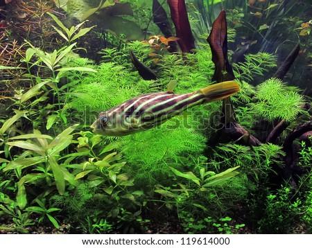 Aquarium with fish Tetraodon lineatus - stock photo