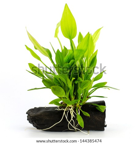 Aquatic plant on a white background - stock photo