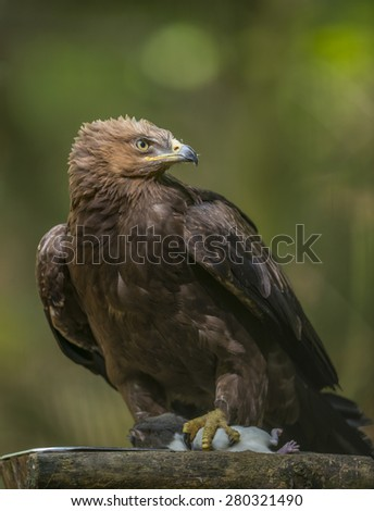 Aquila clanga - eagel - stock photo