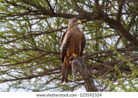 Aquila rapax (Tawny Eagle) - stock photo