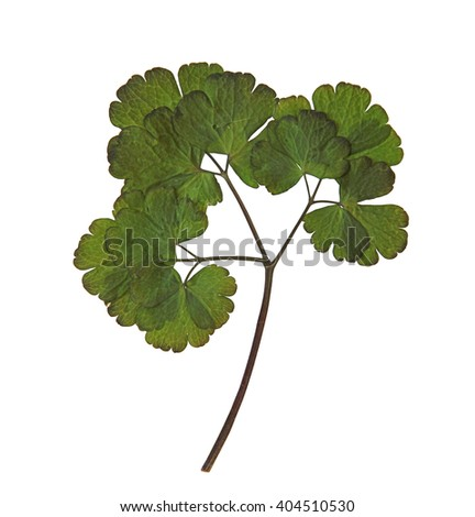 Aquilegia dry pressed leaf isolated element on background  - stock photo