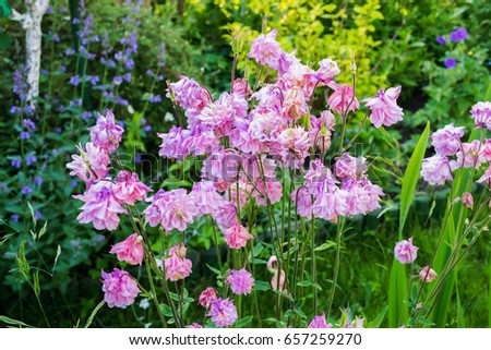 Aquilegia flowers bloom in the garden in Poland on spring.