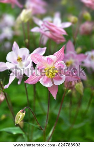 wild columbine flower stock images, royaltyfree images  vectors, Natural flower