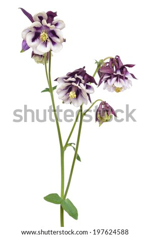 Aquilegia vulgaris flower isolated on white background
