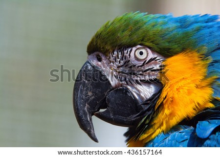 Ara ararauna (Ara ararauna) portrait of the head of a beautiful parrot coloration - stock photo