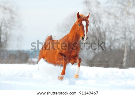 arab horse free in winter