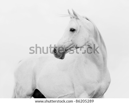 arab horse in high key - stock photo