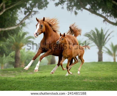 arab horse mare with foal out at grass with palms background behind - stock photo