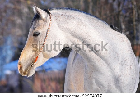 arab horse portrait - stock photo