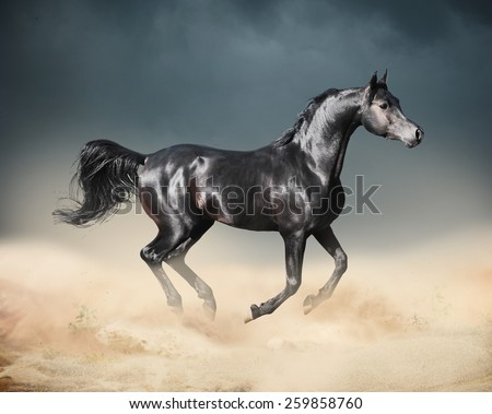 arab horse running in desert - stock photo