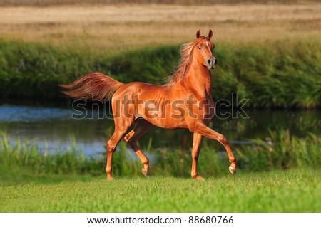 arab horse runs free - stock photo