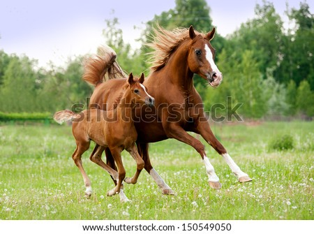 arab mare and foal - stock photo