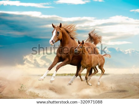 arab mare and foal running in desert - stock photo