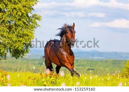 Arab racer runs on a green summer meadow - stock photo