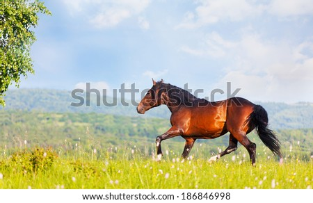 Arab racer runs on a green summer meadow