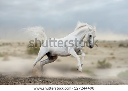 arab stallion in desert - stock photo