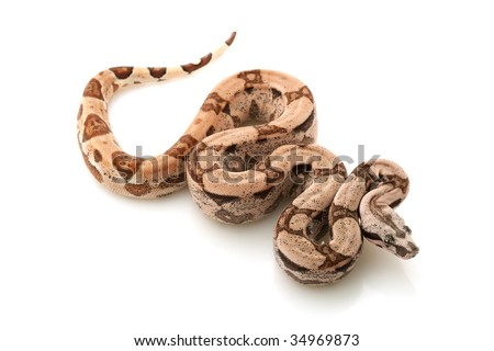 Arabesque Columbian red-tailed boa (Boa constrictor constrictor) isolated on white background. - stock photo