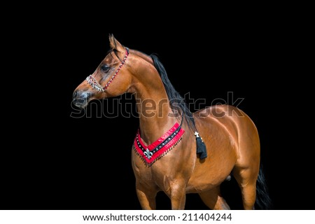 Arabian bay horse portrait on black background - stock photo