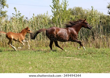 Arabian breed foal and mare galloping  in a meadow  - stock photo