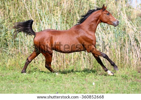 Arabian breed horse galloping across a green summer pasture - stock photo