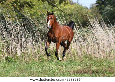 Arabian breed horse galloping across a green summer pasture against green natural background - stock photo
