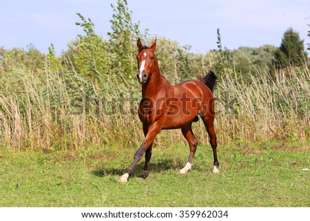 Arabian breed horse galloping on pasture against green reed - stock photo