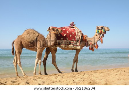 Arabian camel or Dromedary also called a one-humped camel in the Sahara Desert, Douz, Tunisia - stock photo