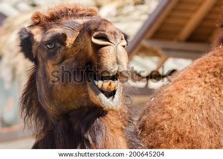 Arabian camel or Dromedary (Camelus dromedarius)  - stock photo