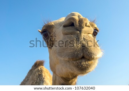 Arabian camel or Dromedary (Camelus dromedarius) in the Dahab, Egypt