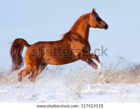 Arabian chestnut horse running in winter - stock photo