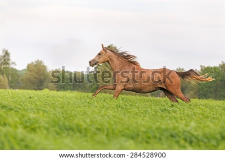 Arabian foal running in the meadow