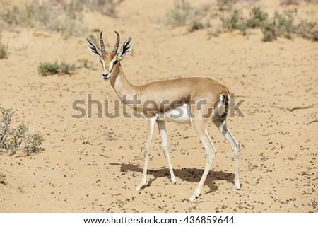 Arabian Gazelle (Gazella gazelle cora) in the Al Maha desert of Dubai, United Arab Emirates  - stock photo