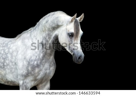 Arabian horse head isolated on black background. - stock photo