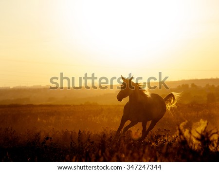arabian horse in sunset running free with mane flowing - stock photo