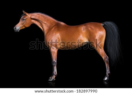 Arabian horse isolated on black - stock photo