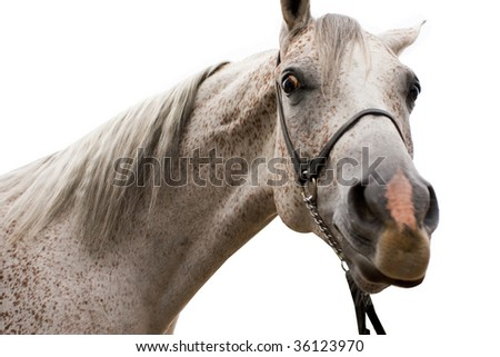 Arabian horse isolated on white background