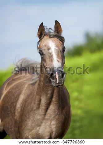arabian horse portrait in motion  - stock photo