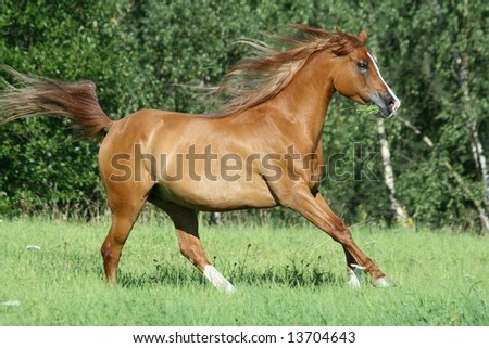 Arabian horse running with flying mane