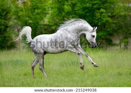 Arabian horse runs gallop on green background - stock photo