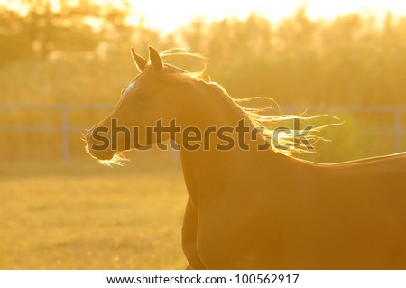 Arabian horse silhouette in sunset runs gallop