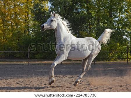 Arabian horse stallion galloping in the paddock - stock photo